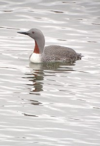 Red-throated Loon (Nome, Alaska)