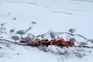 Nom nom nom. Glaucous Gulls feeding on whale.
