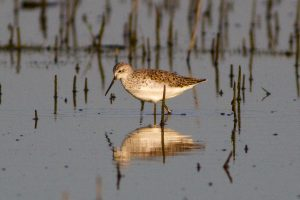 Marsh Sandpiper – photo taken shortly before it became the second-most exciting bird in the country.